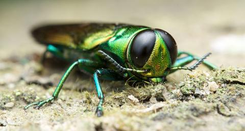 Emerald Ash Borer preventative treatment